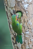 Megalaima australis - Blue-eared Barbet