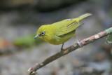 Zosterops palpebrosus - Oriental White-eye (Yellow Morph)