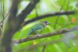 Megalaima franklinii - Golden-throated Barbet