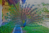 Pavo cristatus - Indian Peafowl or Blue Peafowl