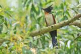 Clamator coromandus - Chestnut-winged Cuckoo