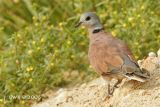 Streptopelia tranquebarica humilis - Red Collared Dove