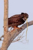 Great Horned Owl and Snake