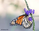 _MG_7538_Monarch.jpg