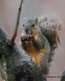 _MG_9244_FoxSquirrel.jpg