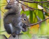 _MG_9252_GreySquirrel.jpg