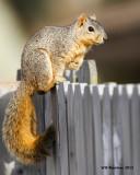 _MG_1799_FoxSquirrel.jpg
