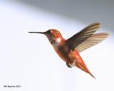 _MG_1849_RufusHummingbird.jpg