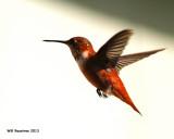 _MG_1852_RufusHummingbird.jpg