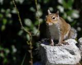 _MG_2450_Squirrel.jpg