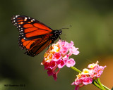 _MG_4267_Monarch.jpg
