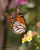 _MG_4275_Monarch.jpg