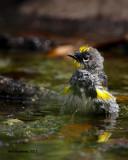_MG_4399_YellowrumpWarbler_bath.jpg