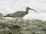 Whimbrel  Scientific name - Numenius phaeopus  Habitat - Along the coast in grassy marshes, mud and on exposed coral flats, beaches and sometimes in ricefields.  [300D + Bigma (Sigma 50-500), hand held]