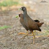 Plain Bush-Hen (a near Philippine endemic)  Scientific name - Amaurornis olivaceus  Habitat - Drier grasslands and scrub.  [300D + Sigmonster (Sigma 300-800 DG), on tripod]