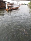 Hungry Fish in the Chao Phraya River