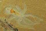 Octopus showing exceptional preservation of internal anatomy. 55 mm. Cenomanian, Hjula, Lebanon.