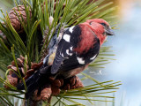 White Winged Crossbills of Salisbury Beach, MA