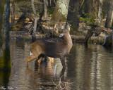 Feeding Deer in the Cove Swamp