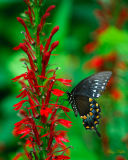 Swallowtail on Cardinal Flower (Lobelia cardinalis)