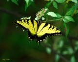 Tiger Swallowtail on Horse Mint