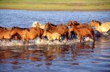 Around Przewalski horses in Mongolia
