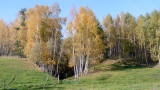 BIRCH TREES IN AUTUMN SUN