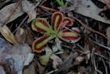 Drosera erythrorhiza ssp. squamosa