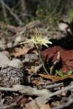 Caladenia flava ssp. flava