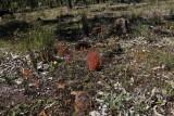 Drosera stolonifera ssp. stolonifera
