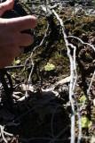 Drosera glanduligera