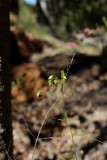 Drosera pallida