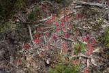Drosera erythrorhiza ssp.