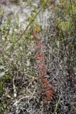 D.menziesii ssp.
