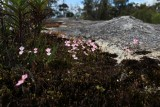 Stylidium sp
