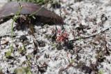 Drosera roseana