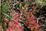 Drosera purpurascens with fresh cricket as prey