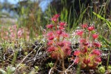 Drosera purpurascens