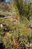 Drosera microphylla
