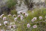 Taxandria spathulata