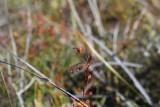 Drosera menziesii ssp.