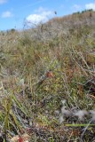 Drosera neesii ssp. neesii