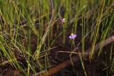 Utricularia benthamii