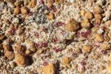 Drosera pygmaea