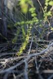Drosera ramellosa