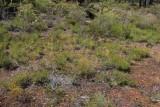 Drosera rosulata and Drosera gigantea