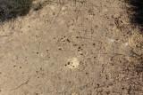 Drosera nitidula ssp. nitidula