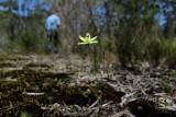 Lemon Scented Sun Orchid ( Thelymitra antennifera )