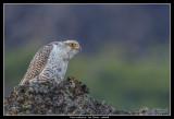 Gyr Falcon (cropped), Iceland