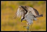 Osprey, Krankesjön